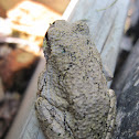 Gray or Cope's Gray Tree Frog