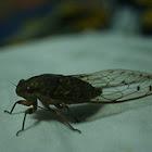 Borneo Cicada