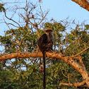 Udzungwa red colobus