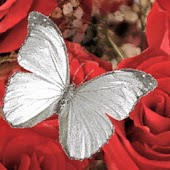 White Butterfly n Red Roses