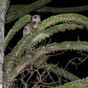 White footed sportif lemur