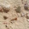 Hermit crab, soldier crab, Caribbean soldier crab, tree crab