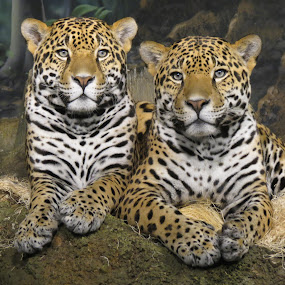 Brothers by Alicia McNally - Animals Lions, Tigers & Big Cats ( big cat, jaguar, wildcat )