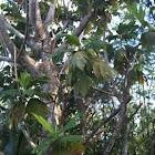 Artocarpus mariannensis