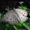 Gray Pansy Butterfly