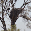 Wedge-tail Eagle Nest