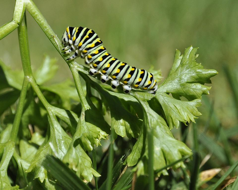Eastern Black Swallow Tail Caterpillar