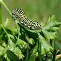 Eastern Black Swallow Tail Caterpillar