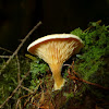 False Chanterelle
