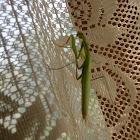 Mantis (Bogomolka)