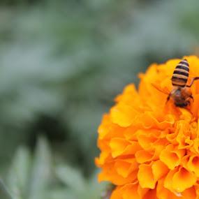 Flower Bee by Shafiq Azli - Flowers Single Flower