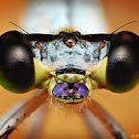 Purple nosed damselfly