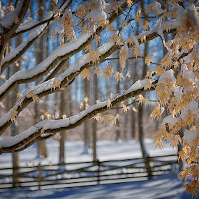 The Elm in Winter by Cindy Hartman - Nature Up Close Trees & Bushes ( fencel, winter, elm, ice, snow, leaves,  )