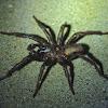 Trap door spider (male)