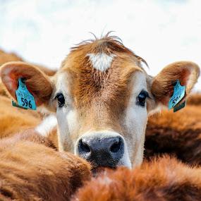 Peek-a-boo by Brandon Seidl - Animals Other Mammals ( farm, cow )