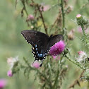Eastern Tiger Swallowtail (black phase female)