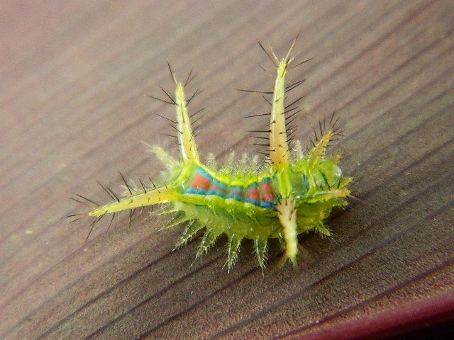 Limacodid Moth Caterpillar