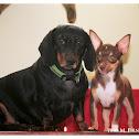 ayeeh (dachshund) sancho (chihuahua)