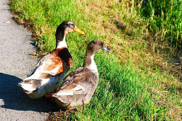 Silver Appleyards ? Saxony ducks? | Project Noah