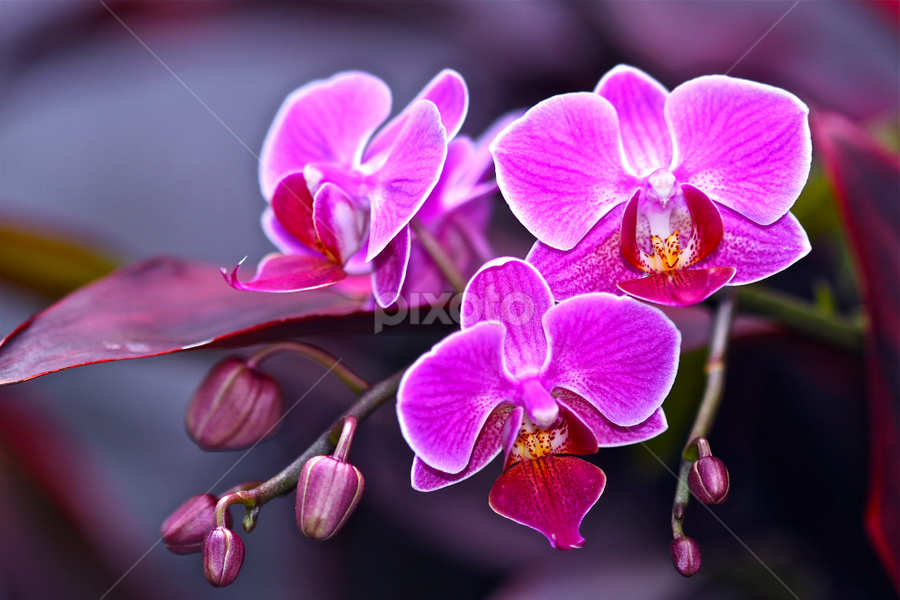 Surrounding Orchid by Ismed  Hasibuan  - Nature Up Close Flowers - 2011-2013 ( nature, orchid, next, door, pink, flowers, up, close )
