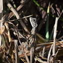 Common basilisk or Jesus Lizard