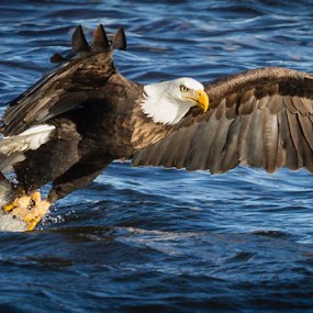 Capture by Mike Trahan - Animals Birds ( flight, flying, capture prey, nature, bald eagle, mississippi )
