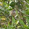 European Tree Sparrow