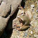 Stoney Creek Frog
