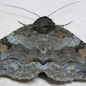 Brown-spotted Zale Moth