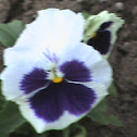 rose of sharon: type white