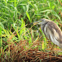 The Indian Pond Heron