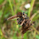 Red-footed Cannibalfly(robber fly)