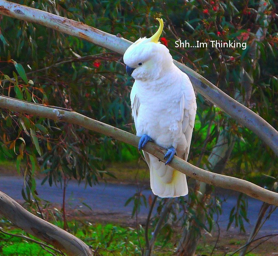 The Thinker by Leigh Martin - Typography Captioned Photos ( cockatoo large bird white,  )