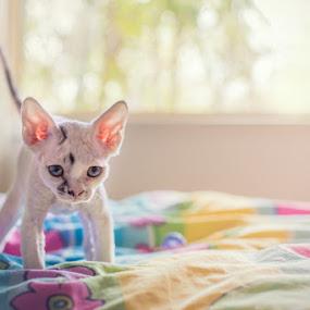 Make my day, punk! by Rita Drysdall - Animals - Cats Kittens ( pastels, kitten, devon rex, blue flower art )