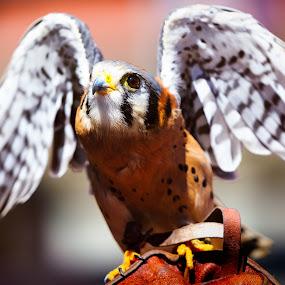 Kestrel by Shane McKenzie - Animals Birds ( bird, bird of prey, wings, falcon, kestrel,  )