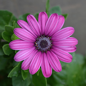Daisy At Dusk by Ed Hanson - Flowers Single Flower ( macro, purple, green, dusk, flower )