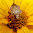 Beneficial Insects - Great Lakes Region