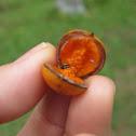 Petroleum nut tree