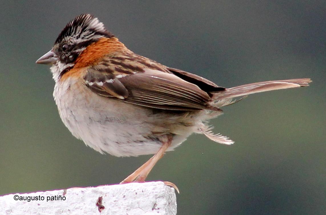 Copetón - Rufous-collared Sparrow
