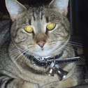 Tabby Cat (This one name is Tiger)