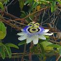 Jhumko Lata, Passion flower