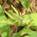 Short-winged Green Grasshopper?
