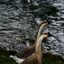 Chinese Goose (domesticated)