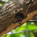 Coppersmith Barbet's Nest