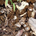 Birds Nest Fungus
