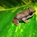 Red-Eyed Coqui
