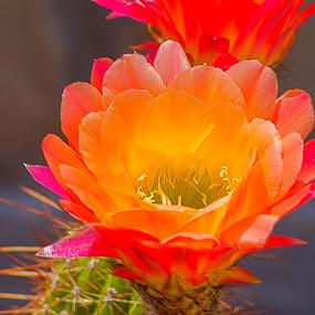 Simply Cactus by Robert Marquis - Flowers Flowers in the Wild ( simply. cactus, bloom, flower,  )