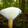Tawny Milkcap