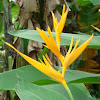 Heliconia 'Golden Torch'