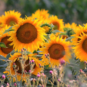 sunflowers by Cosmin Popa-Gorjanu - Flowers Flowers in the Wild ( Hope )